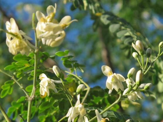 Moringa Oleifera, SUNARIS,